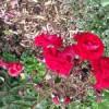 """Eutin Rose (Rosa rosa """"Eutin"""")"""