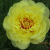 'Bartzella' The Peony that is Yellow