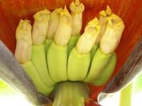 Banana (Musa sps.)