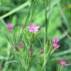 Deptford Pink  Dianthus armeria