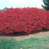 Burning Bush (Euonymus )