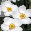 Perennial Plant of the Year  2016
