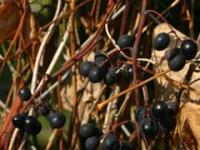 Ramblings on Grapes