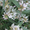 Monarda punctata L. (Spotted Bee Balm)