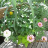 Drought Tolerant Container Plants