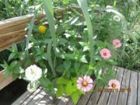 Drought Tolerant Container Plants