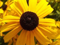 Black Eyed Susan?