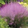 Muhly Grass  (Muhlenbergia capillaris)