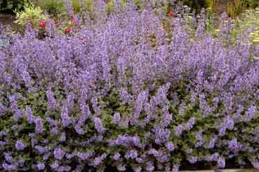 cat mint as an alternative to lavender down to earth garden club. Black Bedroom Furniture Sets. Home Design Ideas