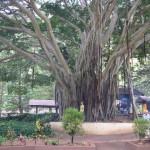 Banyan Tree...Ficus benghalensis