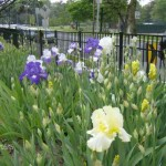 German Iris Bed