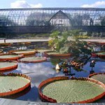 The giant lily pads: Victoria Amazonica and Victoria Cruziana