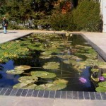 Second Lily pond. The lilies are tropicals.