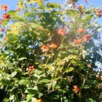 Pseudogynoxys chenopodioides - 'Sao Paulo' - Orangeglow vine