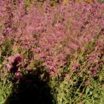 The pink version of the Mexican sage