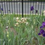 Shorter Iris