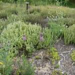 Allium, orgegano, sedum