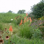 Red hot poker, coneflowers