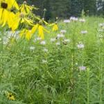 monarda & prairie conflowet