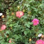 'Artistry' Hybrid Tea Rose