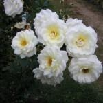 'Moondance' A floribunda