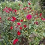 Red bush roses