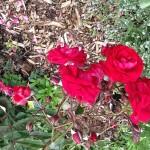 Eutin Rose