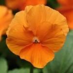 Orange Clear