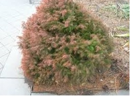 Evergreen winter kill