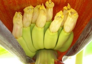 The banana flowers are the yellow structures with the ovaries inside the hypanthium below the flowers.