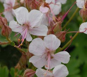 'Biokovo' flower