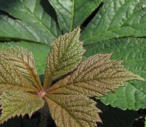Bronze leaf of pinnata