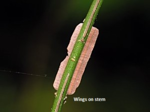 Stem Wings