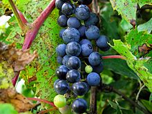 frost grape